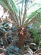 Maits Rest - Giant fern in Maits Rest