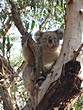 Koala Conservation Centre -