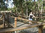 Koala Conservation Centre - Boardwalk and watching for Koalas
